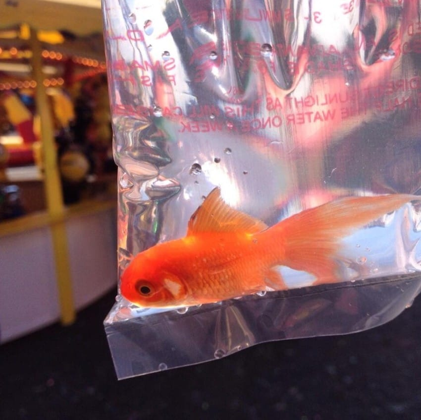 Mom dumps 2 pet goldfish in pond years later dad looks for What fish can live with goldfish in a pond